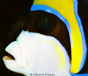 Portrait of an Enperor  Angelfish (Pomacanthus imperator) by Alberto Romeo 